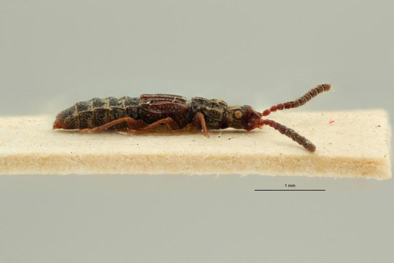 Eupiestus angulatus st L ZS PMax Scaled.jpeg