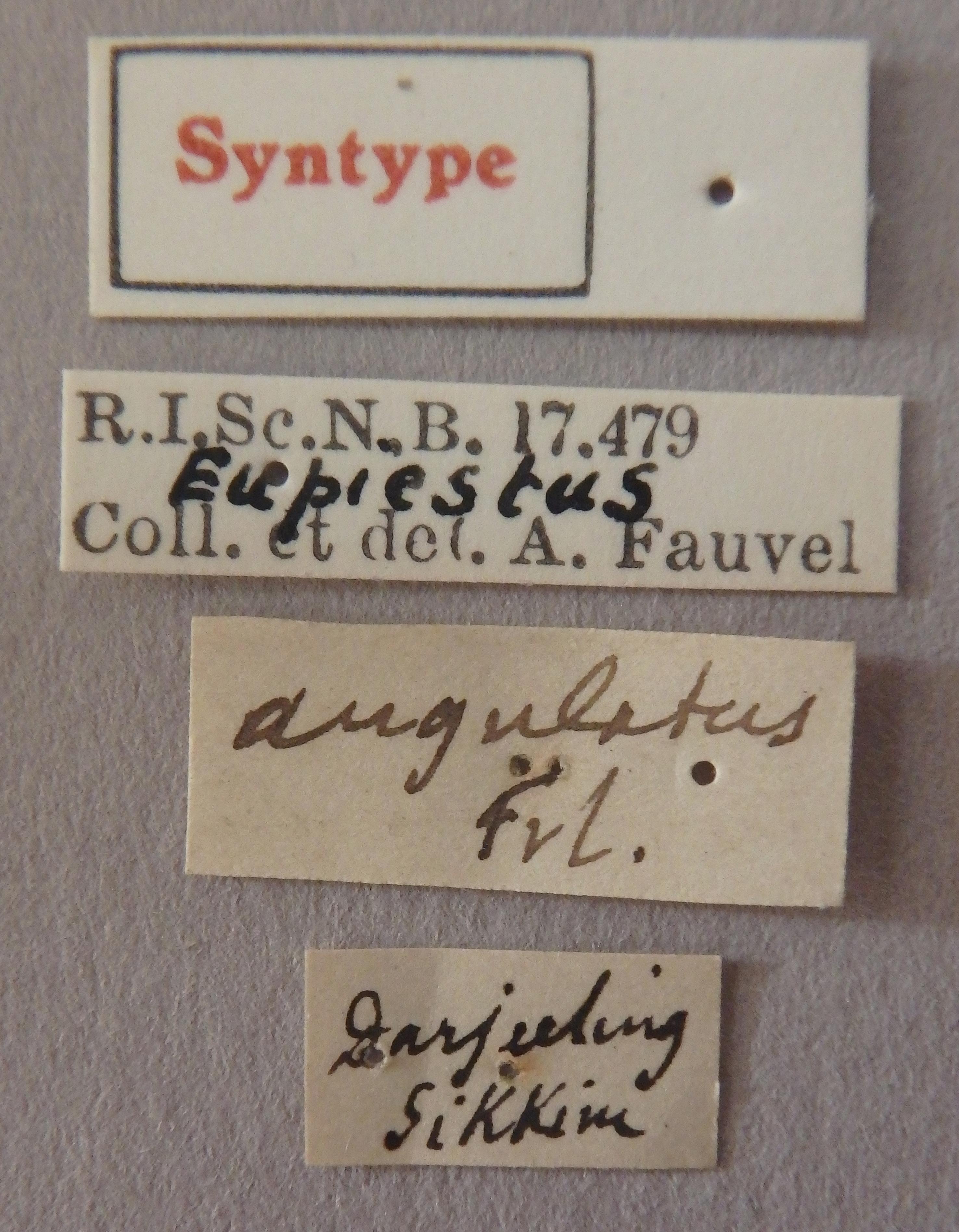 Eupiestus angulatus st Lb.JPG