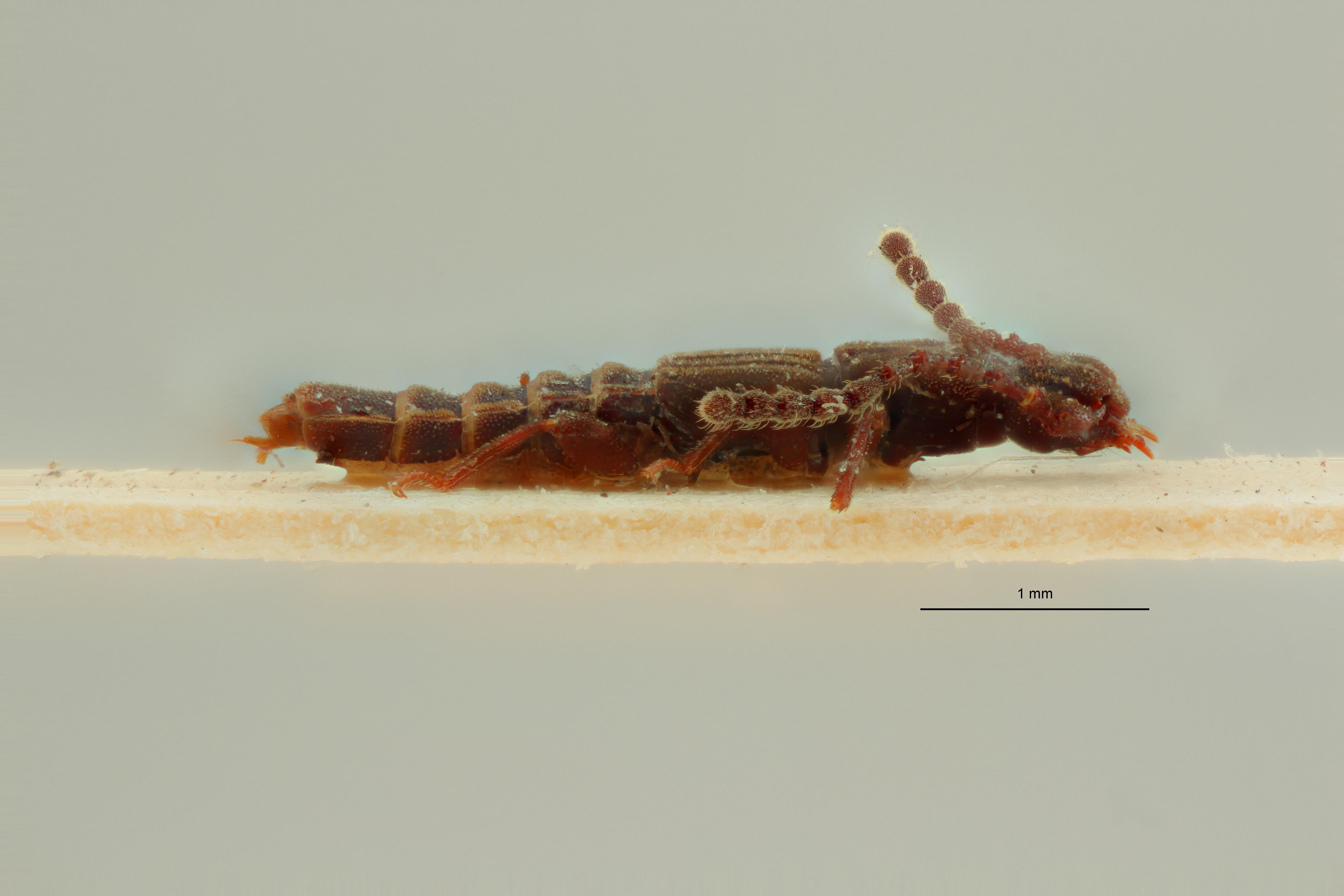 Eupiestus longicornis st L ZS PMax Scaled.jpeg