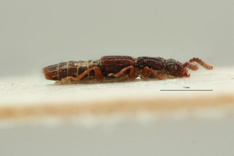 Eupiestus sculpticollis st L ZS PMax Scaled.jpeg