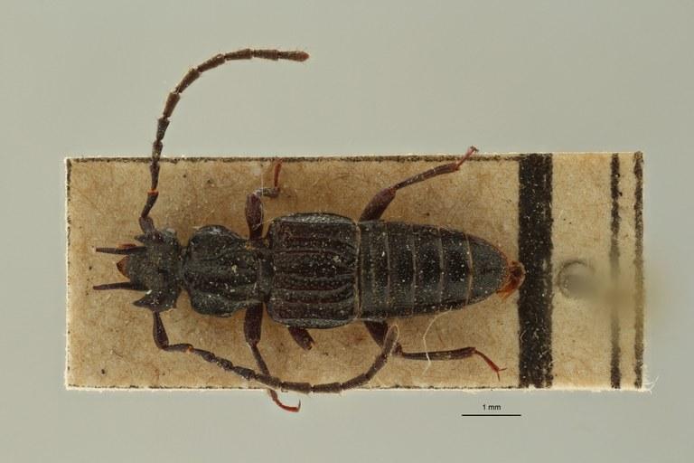 Eupiestus spinifer et2 D ZS PMax Scaled.jpeg