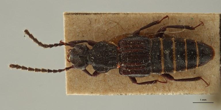 Eupiestus spinifer et1 D ZS PMax Scaled.jpeg