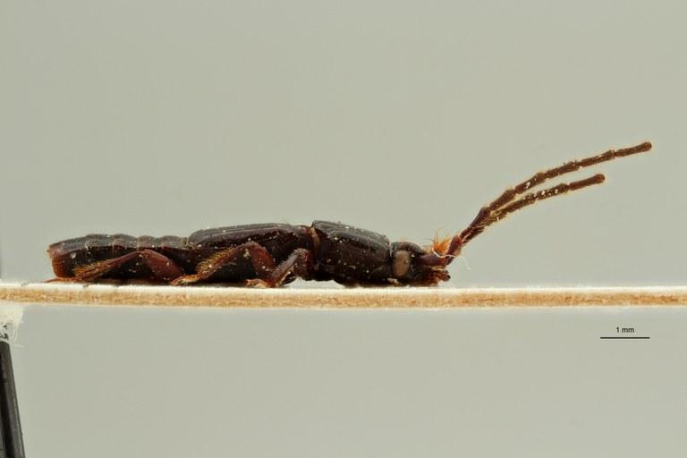 Piestus filicornis t L ZS PMax Scaled.jpeg