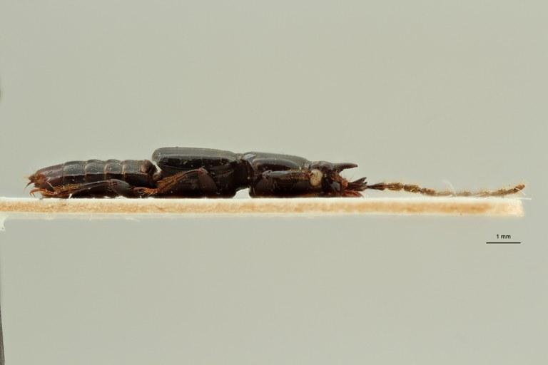 Piestus heterocephalus et L ZS PMax Scaled.jpeg