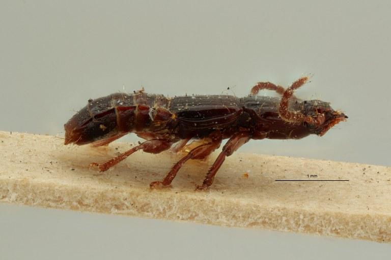 Piestus nigrator lt L ZS PMax Scaled.jpeg