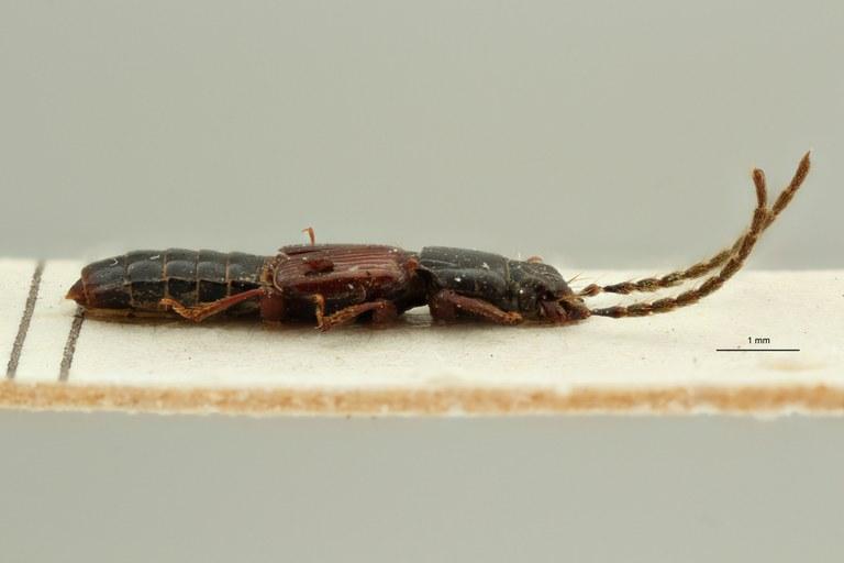 Piestus pennicornis lt L ZS PMax Scaled.jpeg