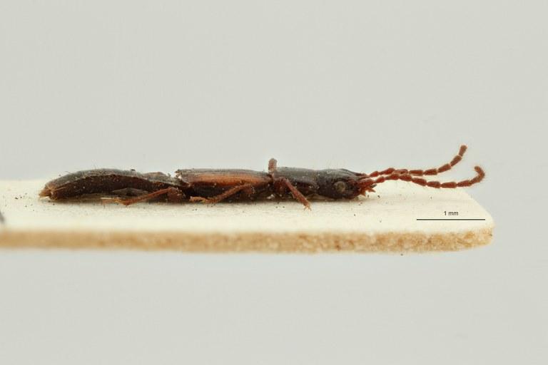 Siagonium vittatum st L ZS PMax Scaled.jpeg