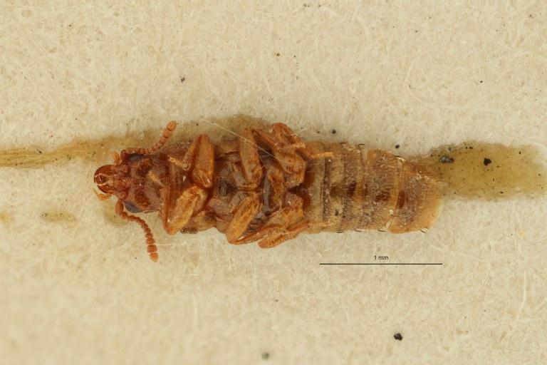 Pseudopsis afra pt V ZS PMax Scaled.jpeg