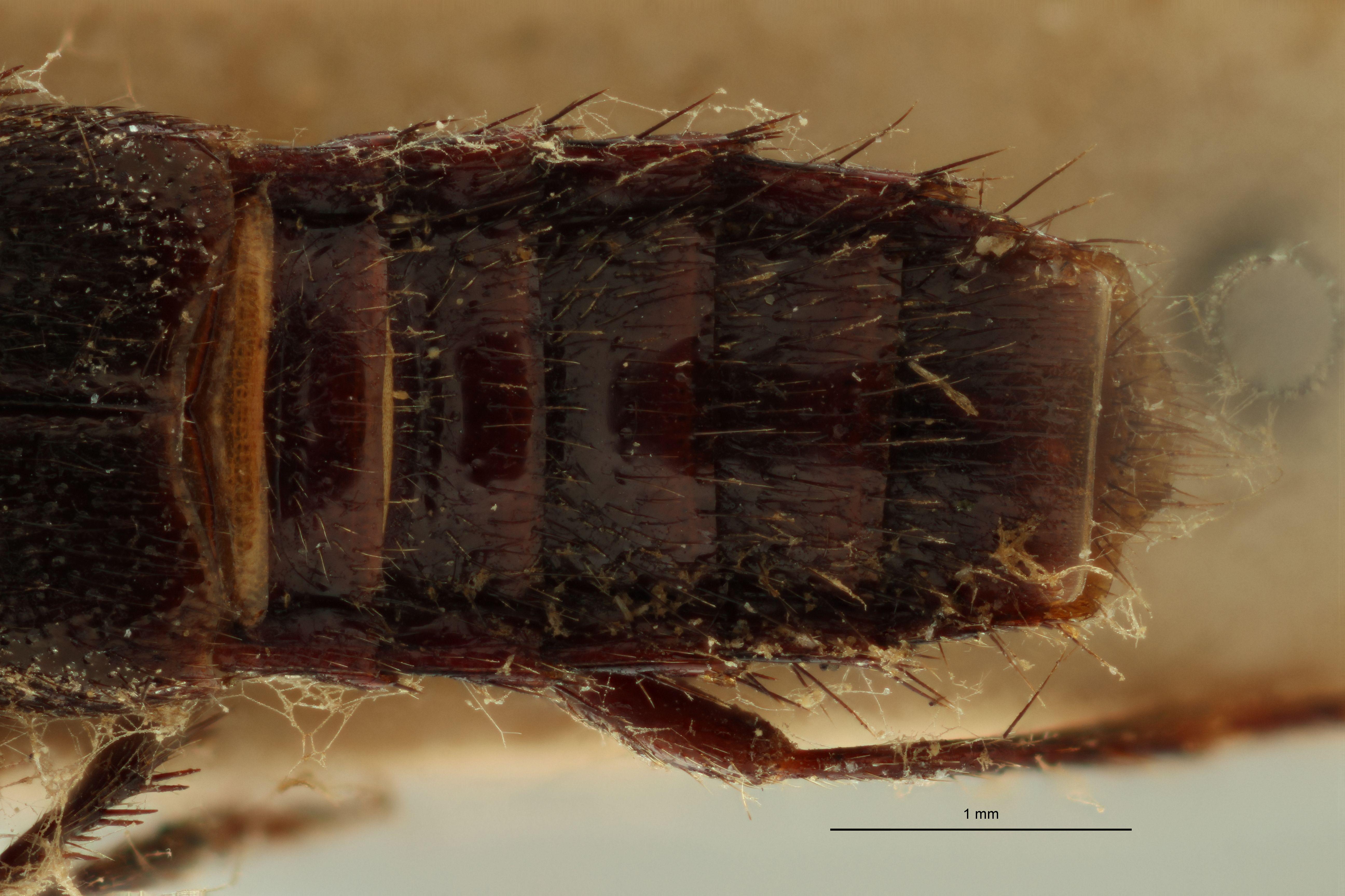 Paracraspedomerus speculifrons t A.jpg