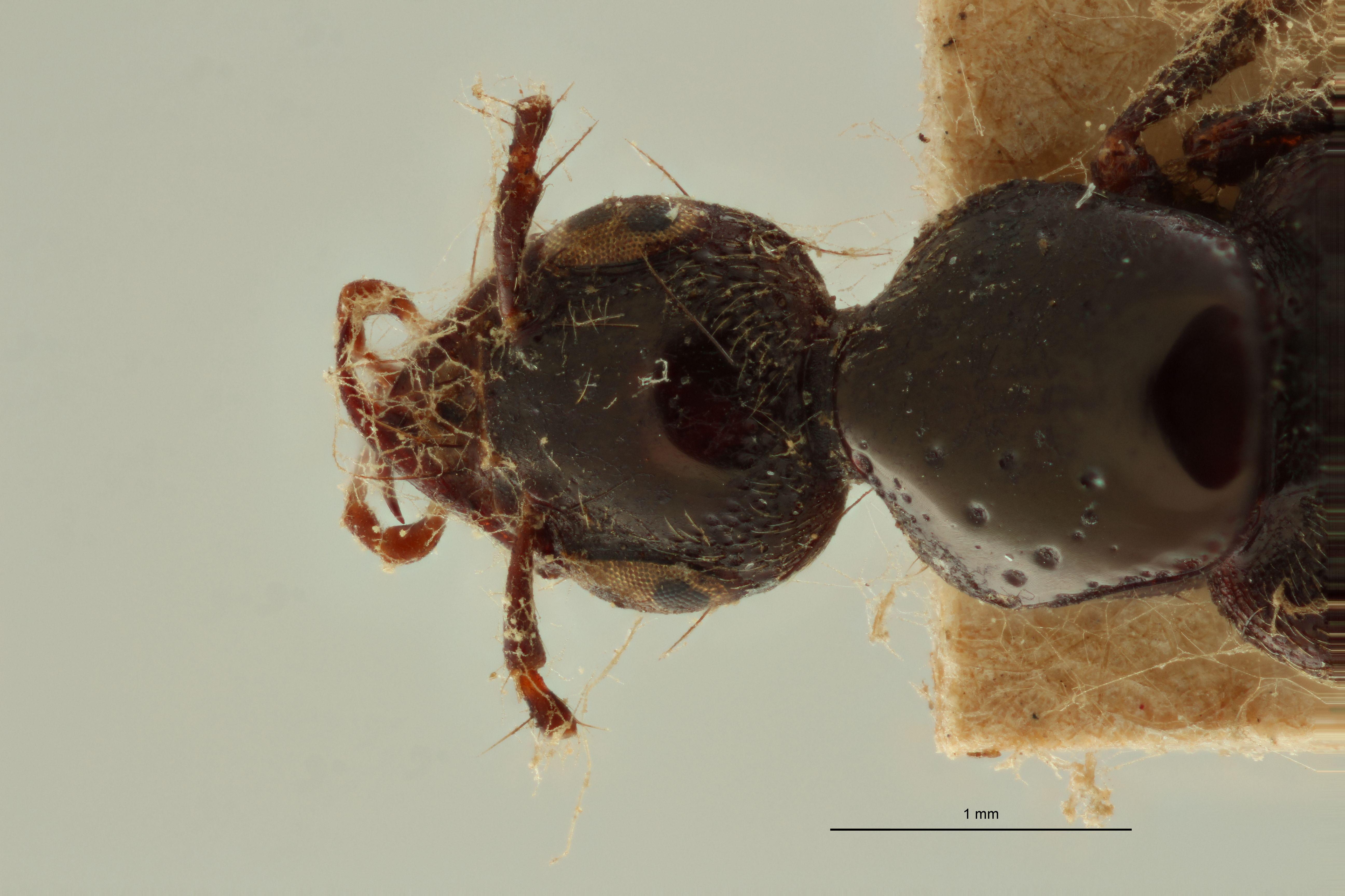 Paracraspedomerus speculifrons t H.jpg