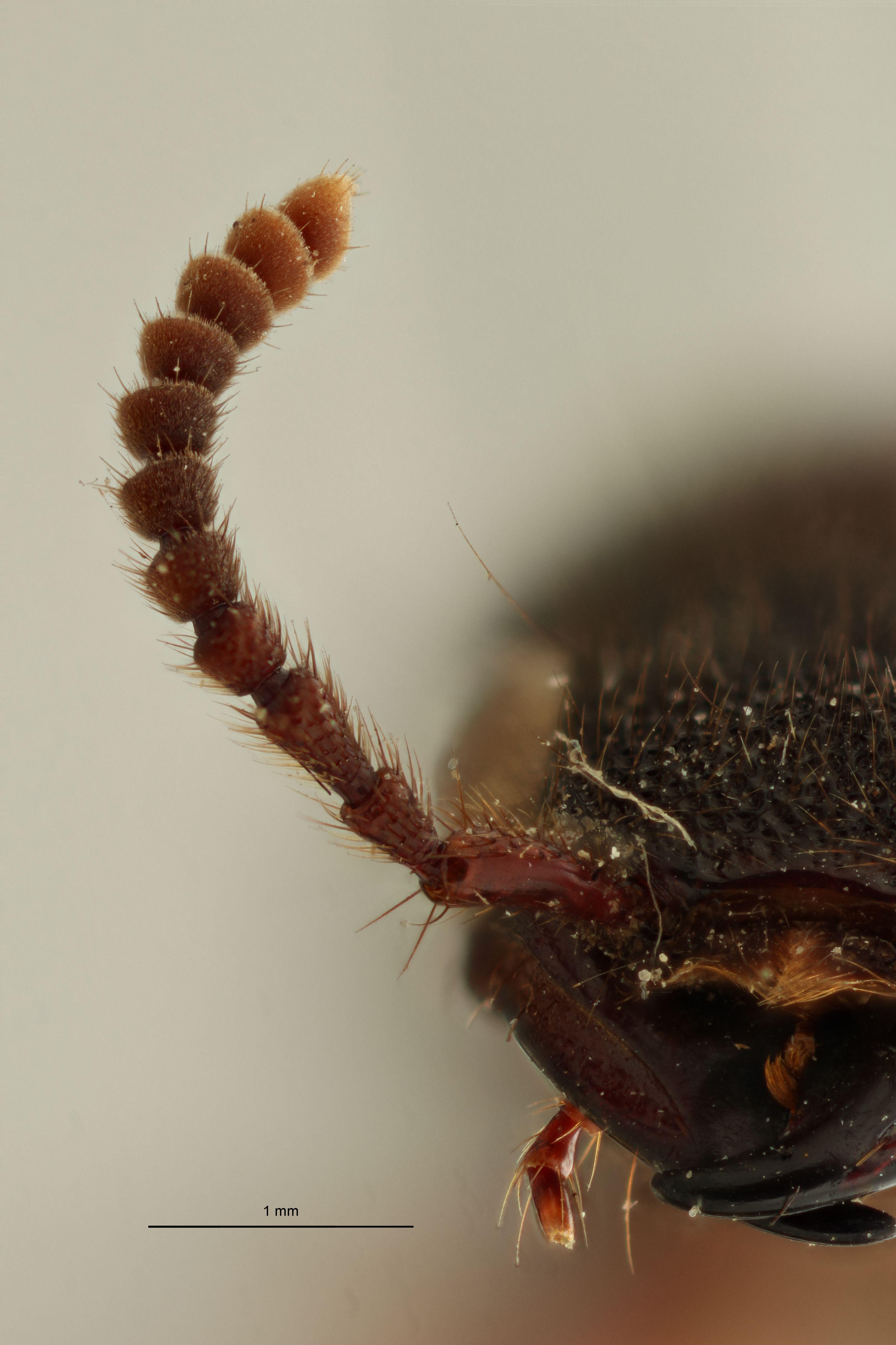 Naddia chrysostigma ext Antenna R.jpg