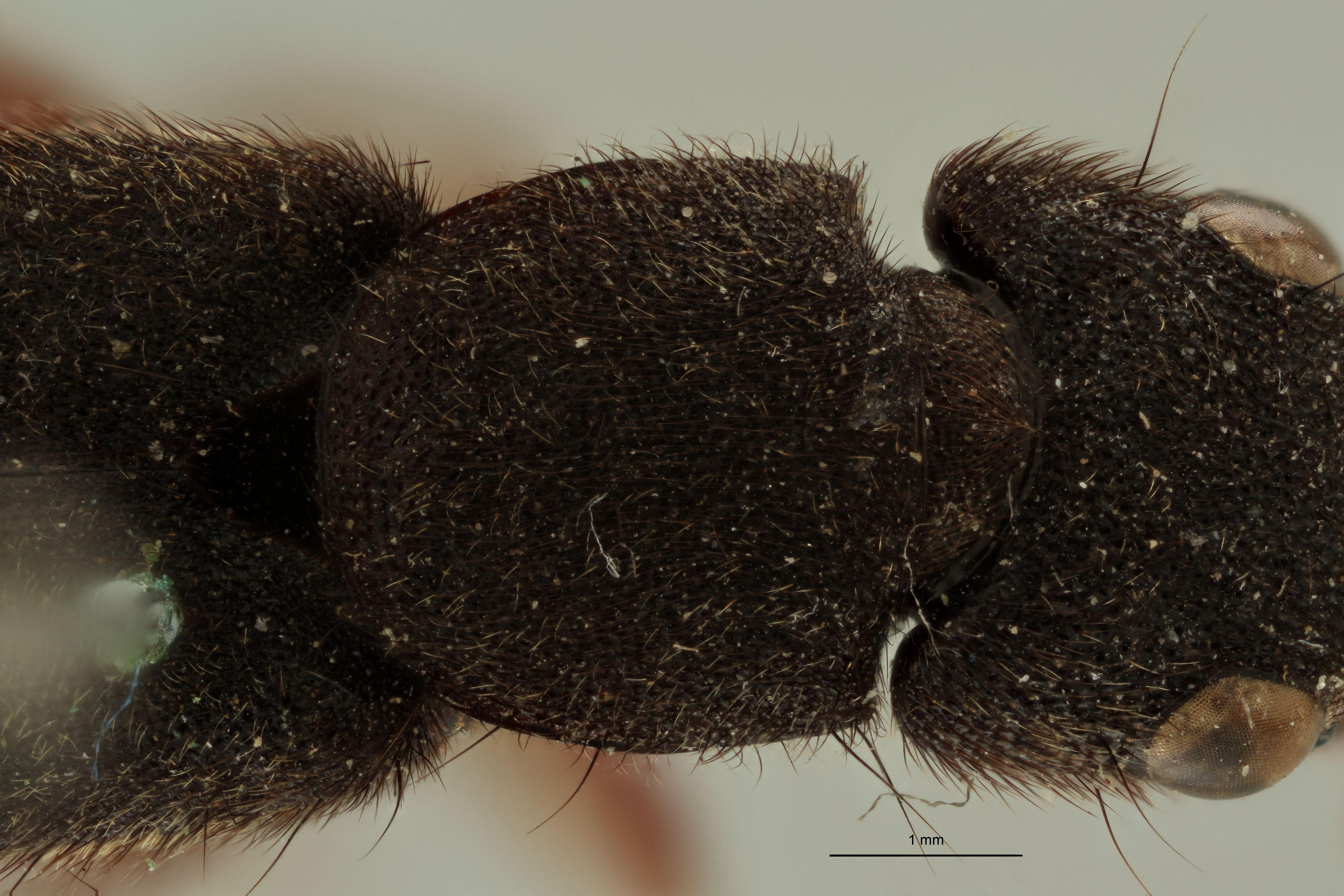 Naddia chrysostigma ext P.jpg