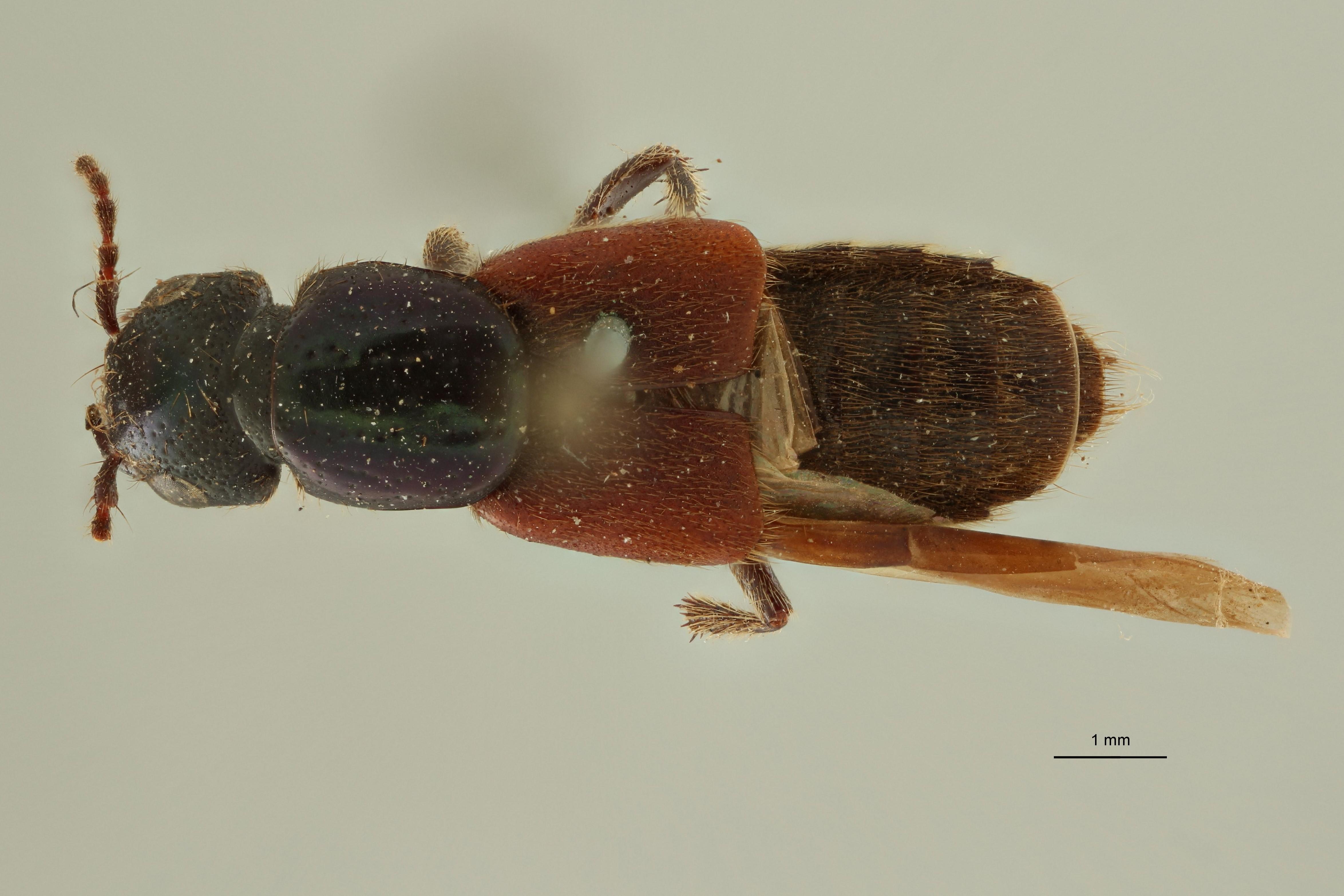 Nausicotus castaneipennis ext D.jpg