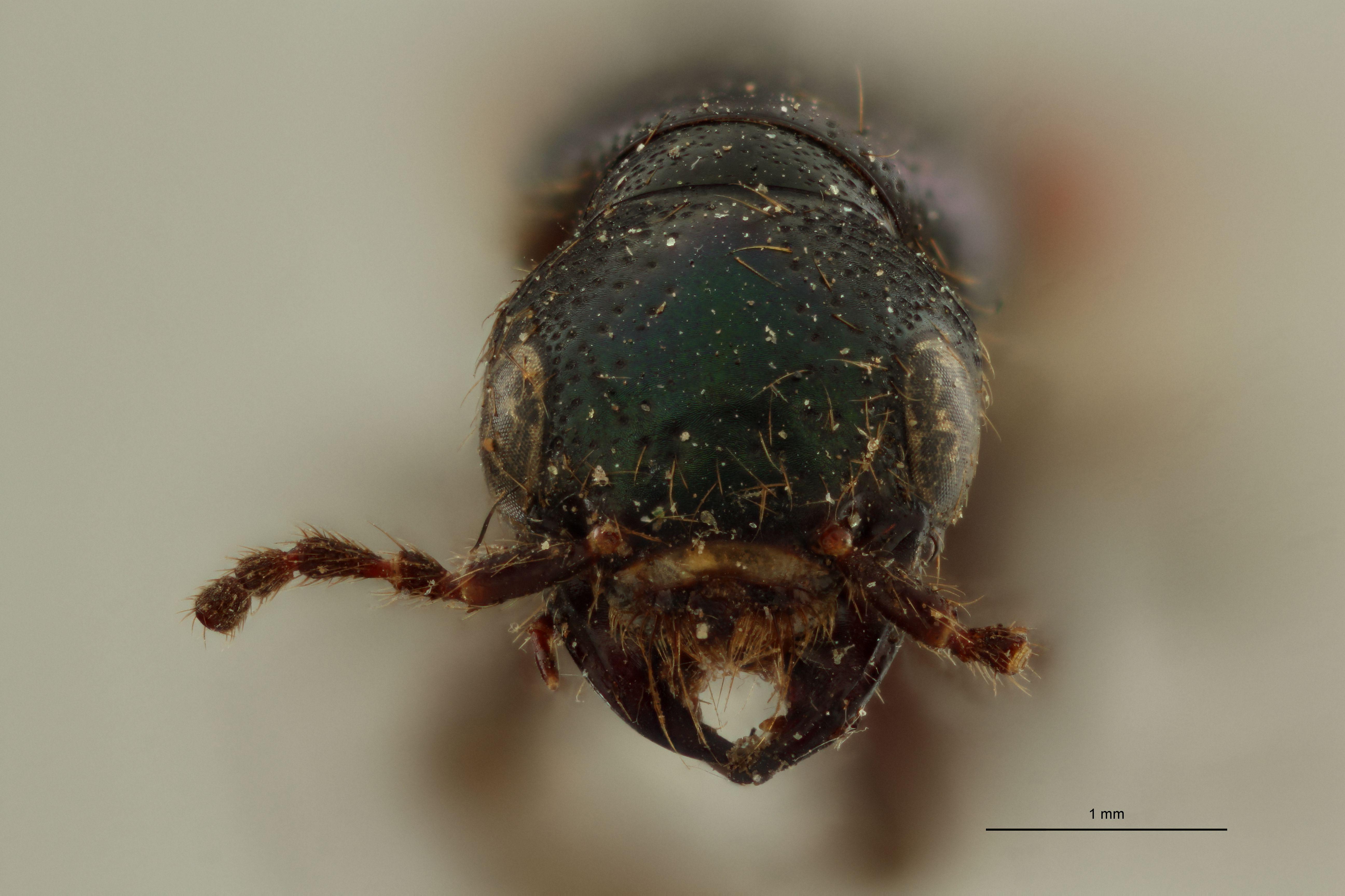 Nausicotus castaneipennis ext F.jpg