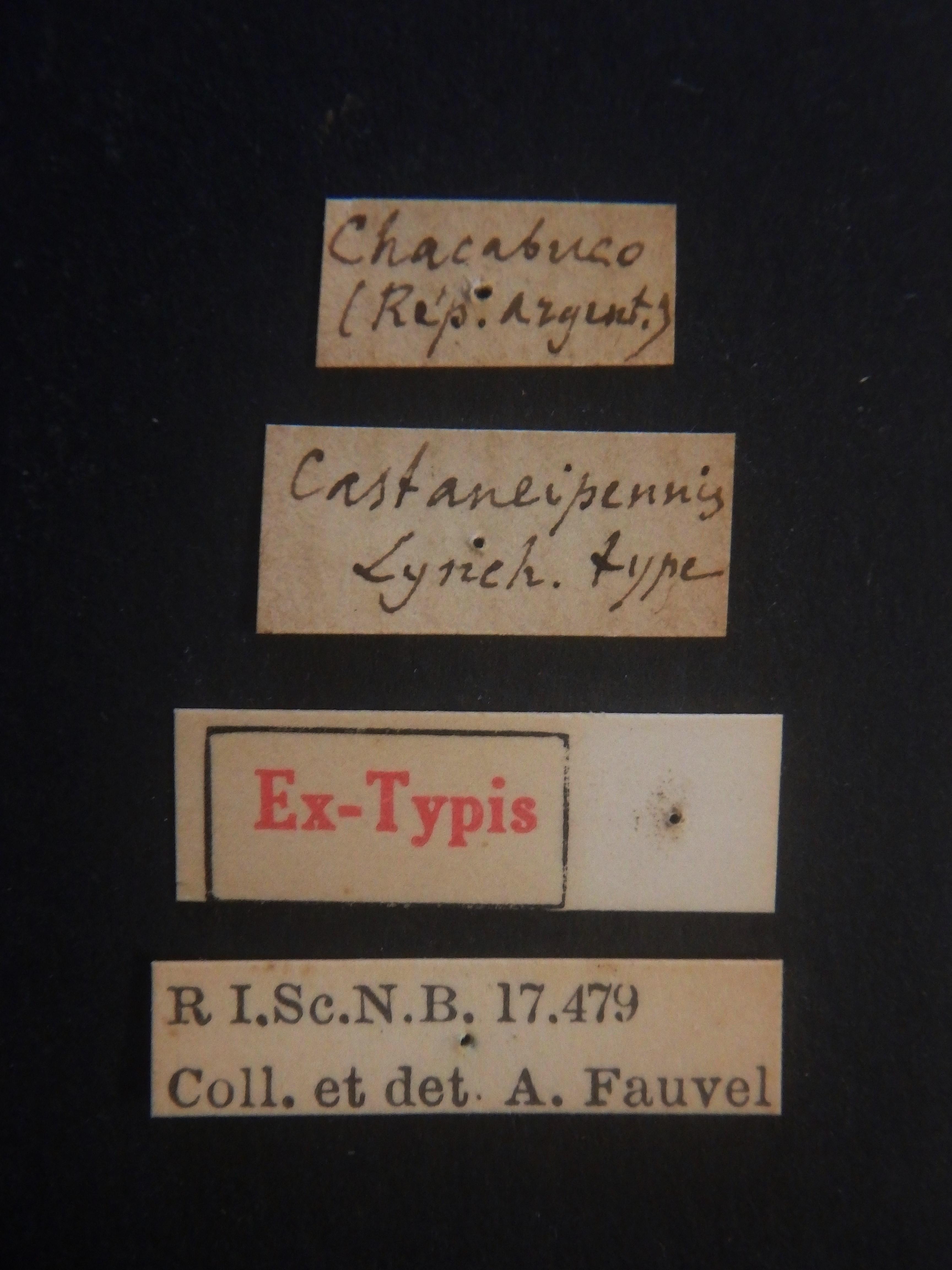 Nausicotus castaneipennis ext Labels.JPG