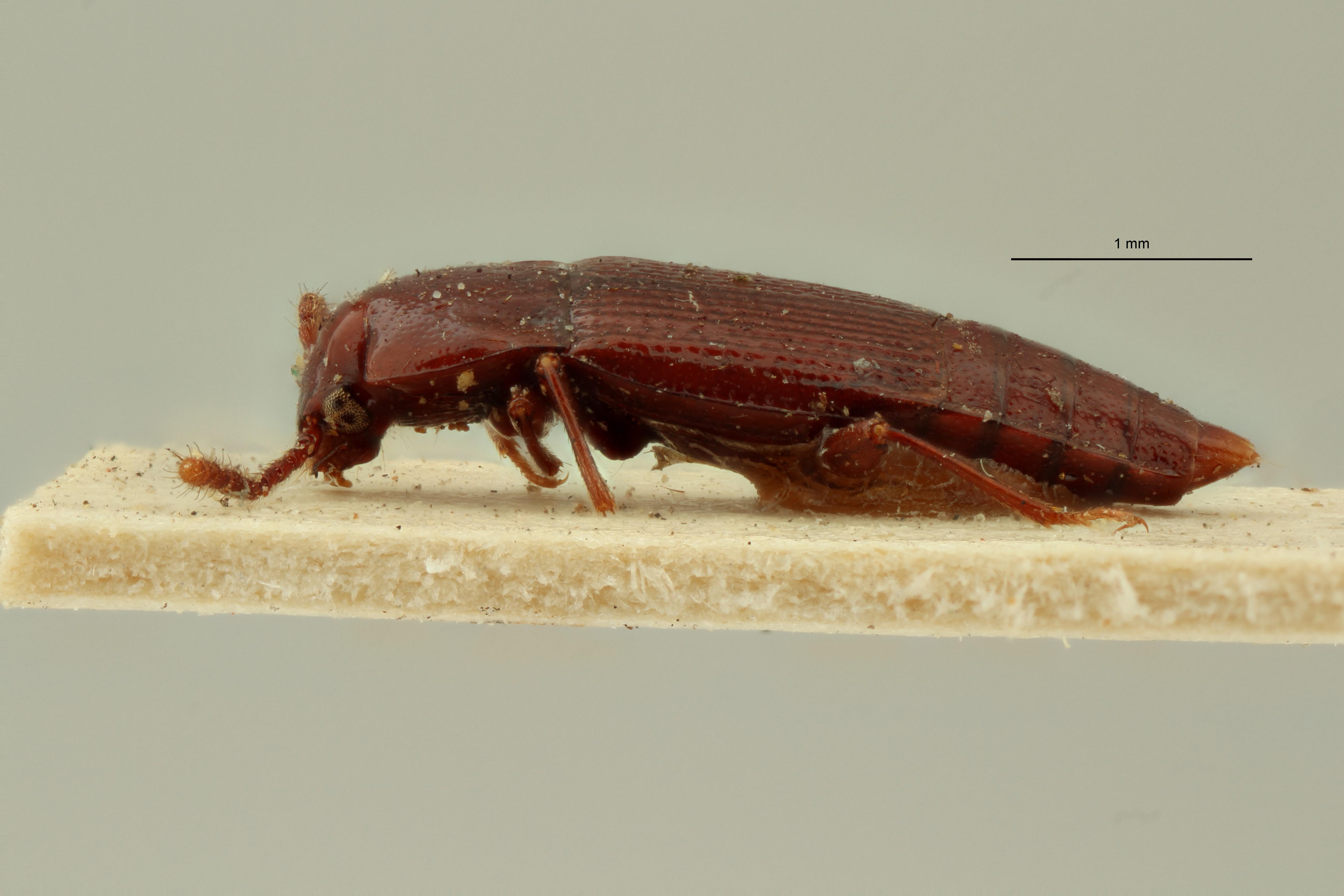 Trigonurus crotchii et L ZS PMax Scaled.jpeg