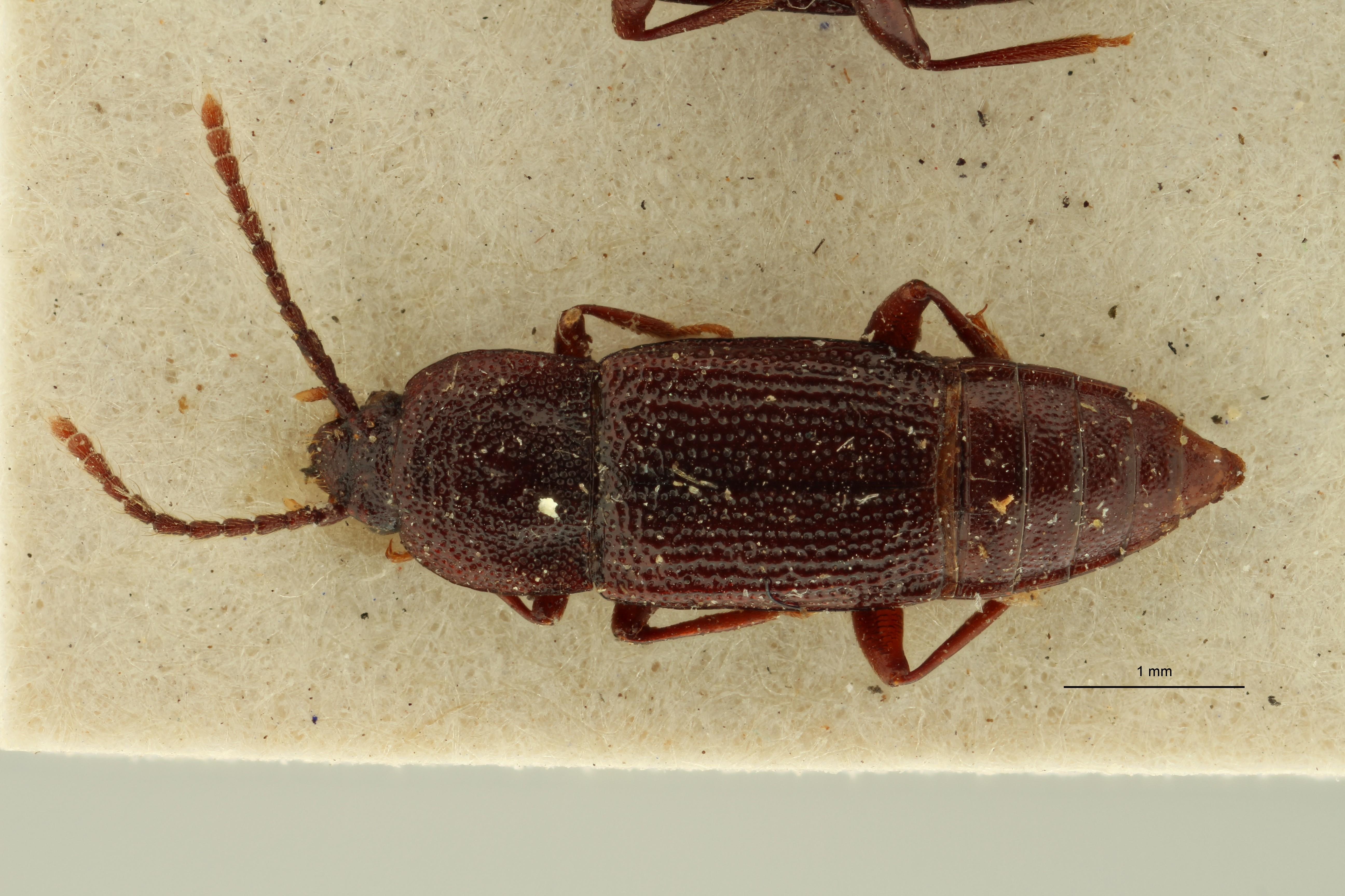 Trigonurus rugosus et D ZS PMax Scaled.jpeg