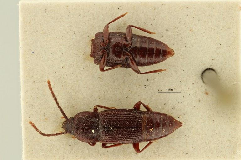 Trigonurus rugosus et DL ZS PMax Scaled.jpeg