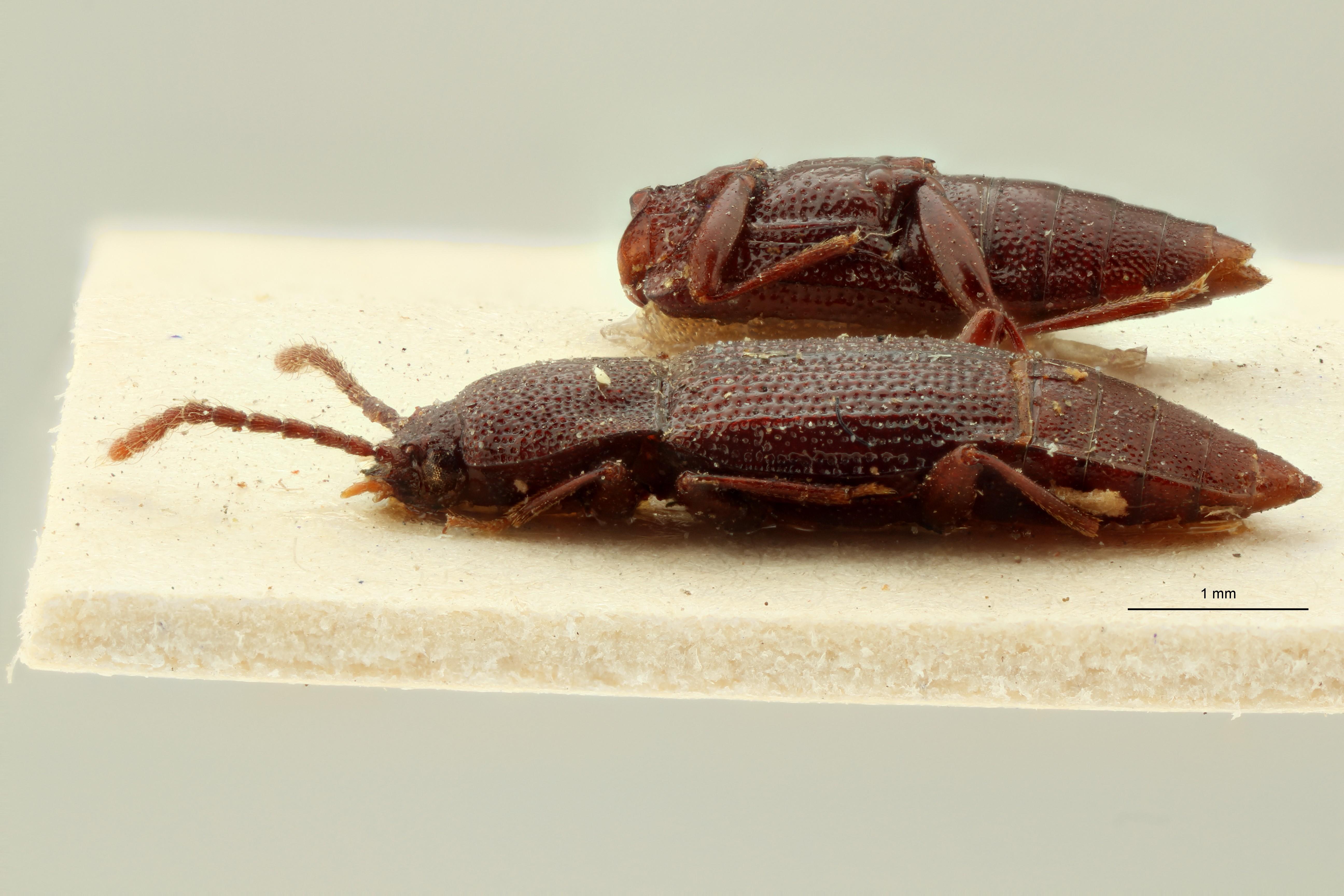 Trigonurus rugosus et L ZS PMax Scaled.jpeg