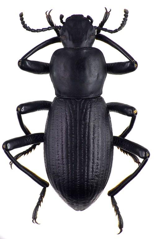 Coelocnemis sulcata 75243cz51.jpg