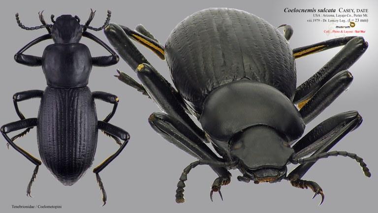 Coelocnemis sulcata.jpg
