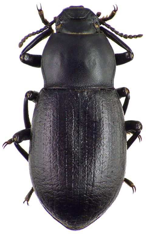 Coelometopus clypeatus 75378cz84.jpg