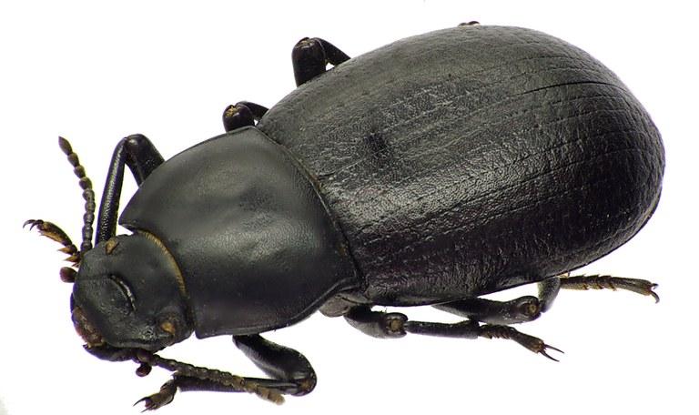 Coelometopus clypeatus 75385cz99.jpg