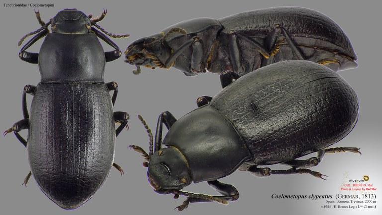 Coelometopus clypeatus.jpg