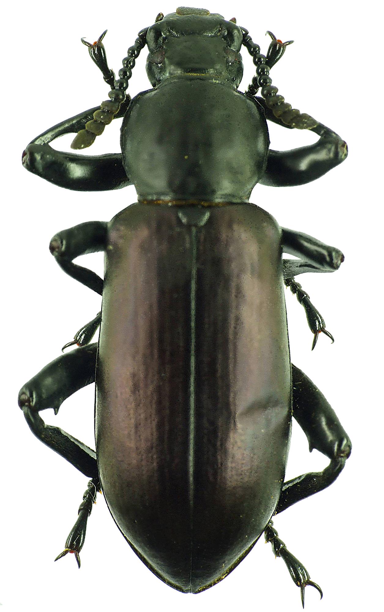 Calostegia purpuripennis 23739cz45.jpg