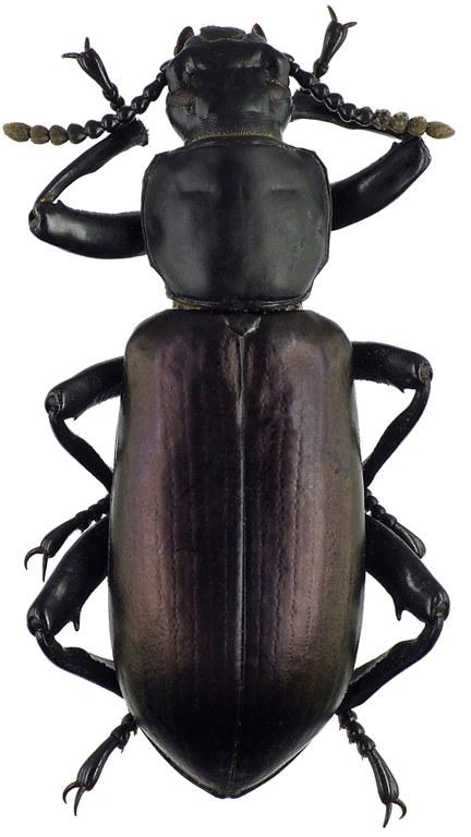 Calostegia purpuripennis 70353cz60.jpg