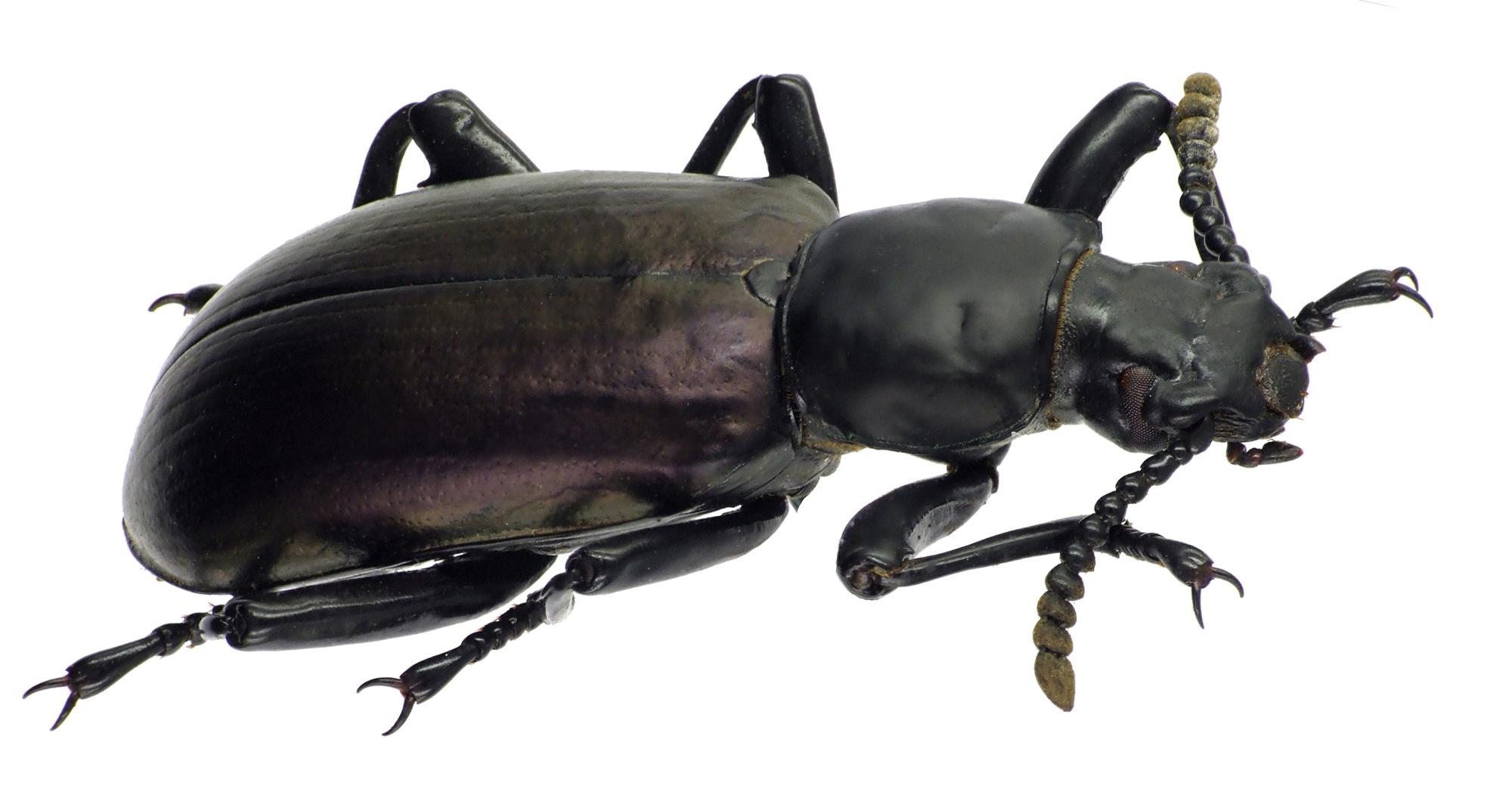 Calostegia purpuripennis 70361cz75.jpg