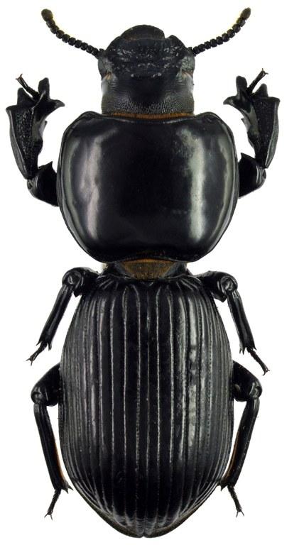 Chirocharis australis 71862cz73.jpg