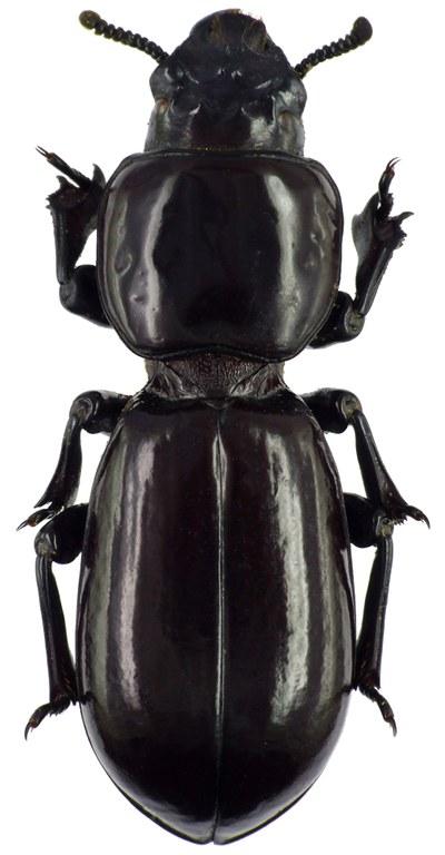 Hemipristula kenyensis 71716cz22.jpg