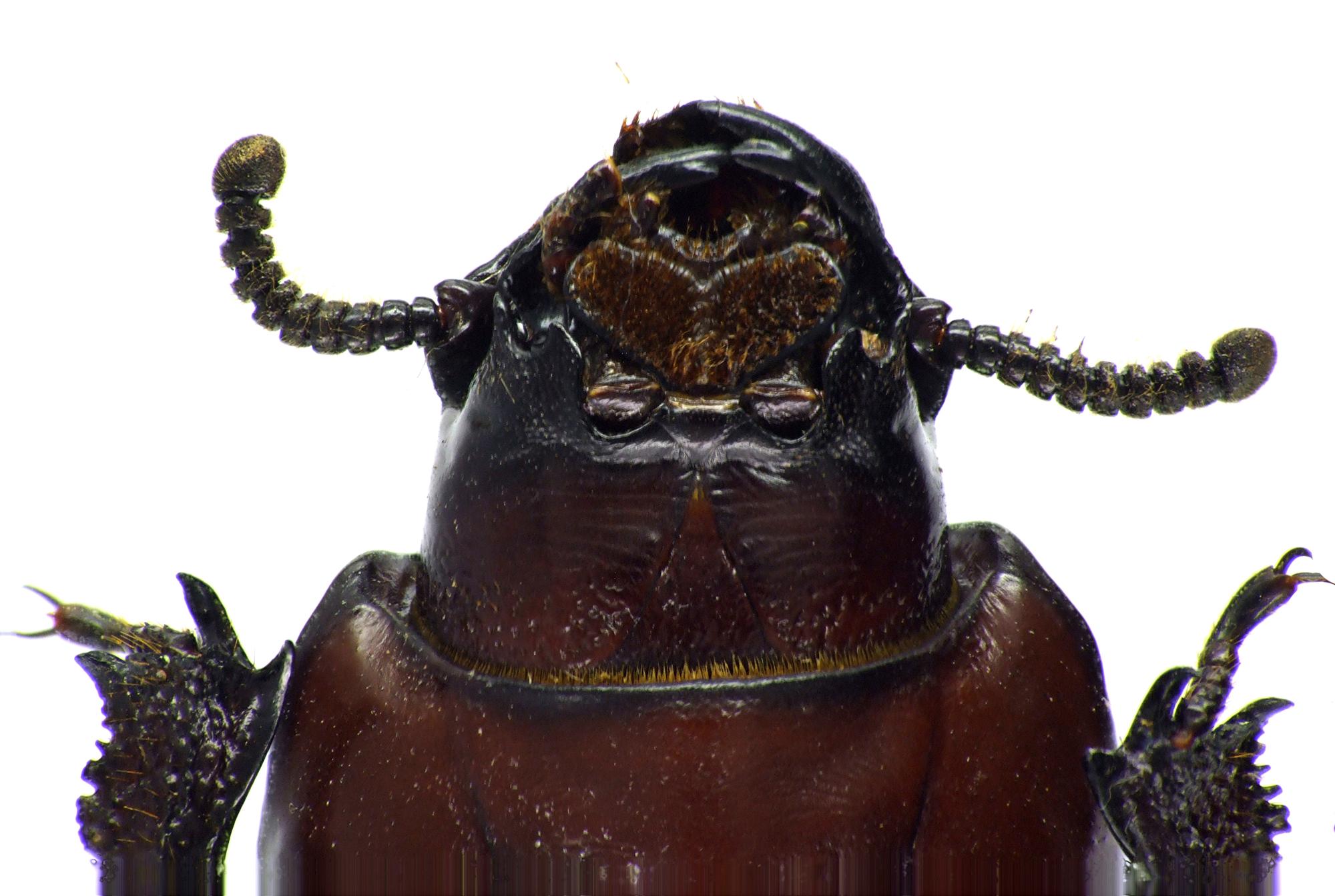 Hemipristula stygica 71686cz93.jpg