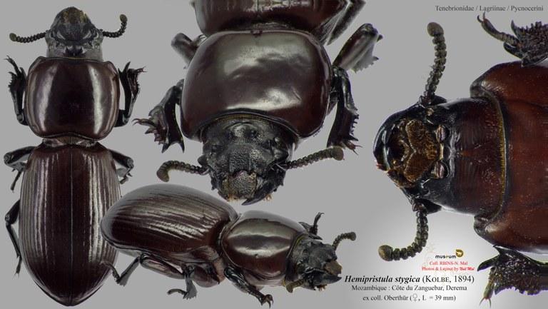 Hemipristula stygica.jpg