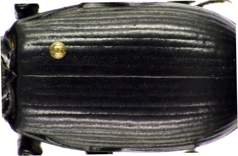 Hemipristula ukamia 71626cz34.jpg