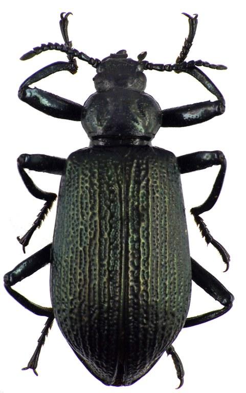 Metallonotus antiquus 69478cz85.jpg