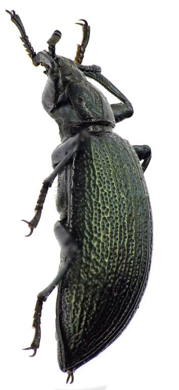 Metallonotus antiquus 69486cz94.jpg