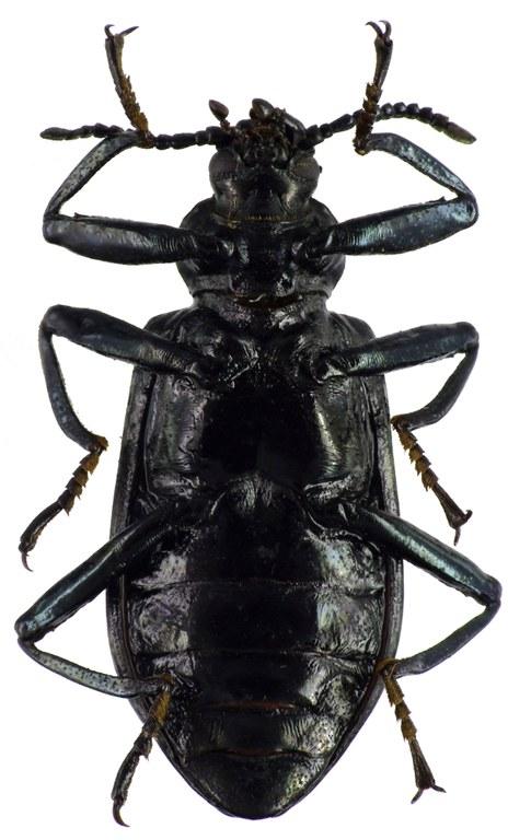 Metallonotus antiquus 69495cz99.jpg