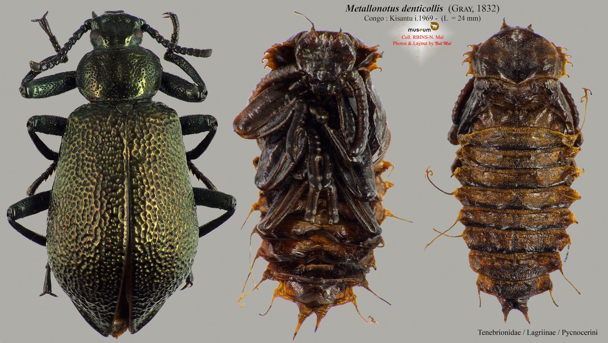 Metallonotus denticollis.jpg