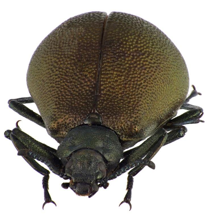 Metallonotus physopterus 69416cz33.jpg