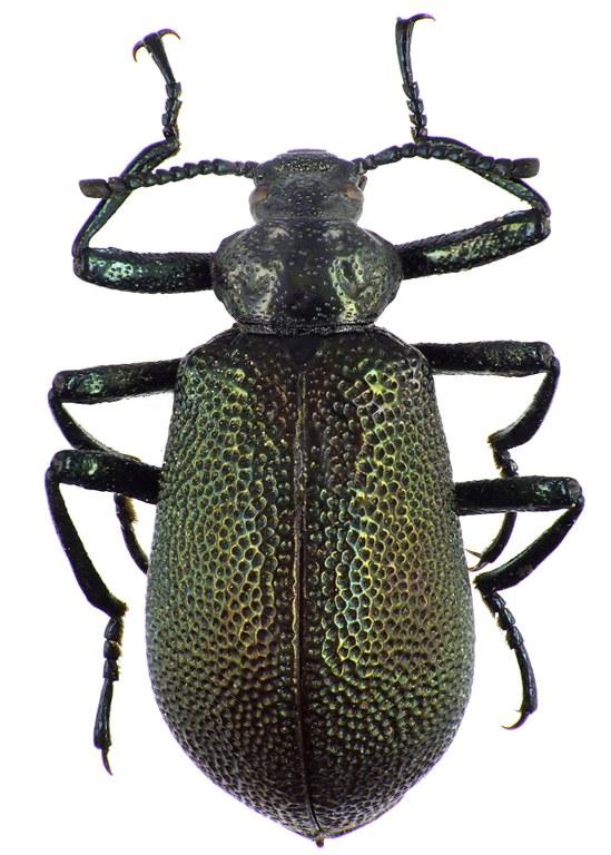 Metallonotus physopterus  69556cz66.jpg