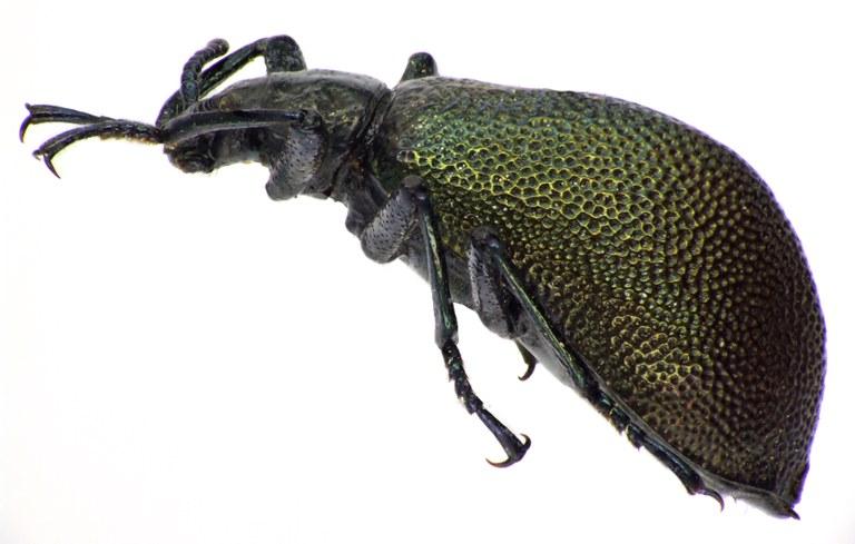 Metallonotus physopterus  69567cz77.jpg