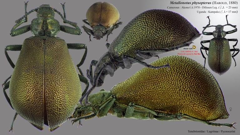 Metallonotus physopterus.jpg