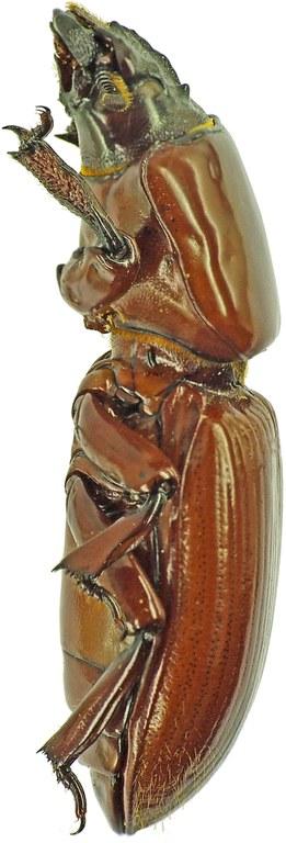 Passalocharis ciliata 23717cz19.jpg