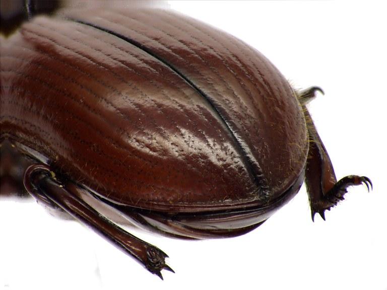Passalocharis ciliata 71364cz78.jpg