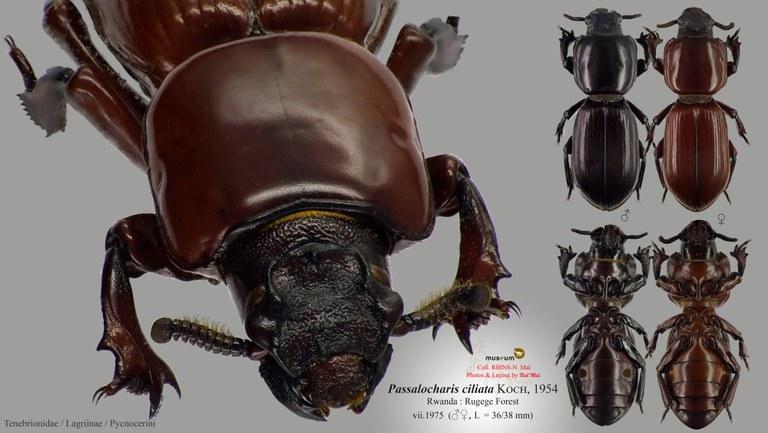 Passalocharis ciliata.jpg