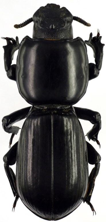 Passalocharis intermedia 71418cz27.jpg