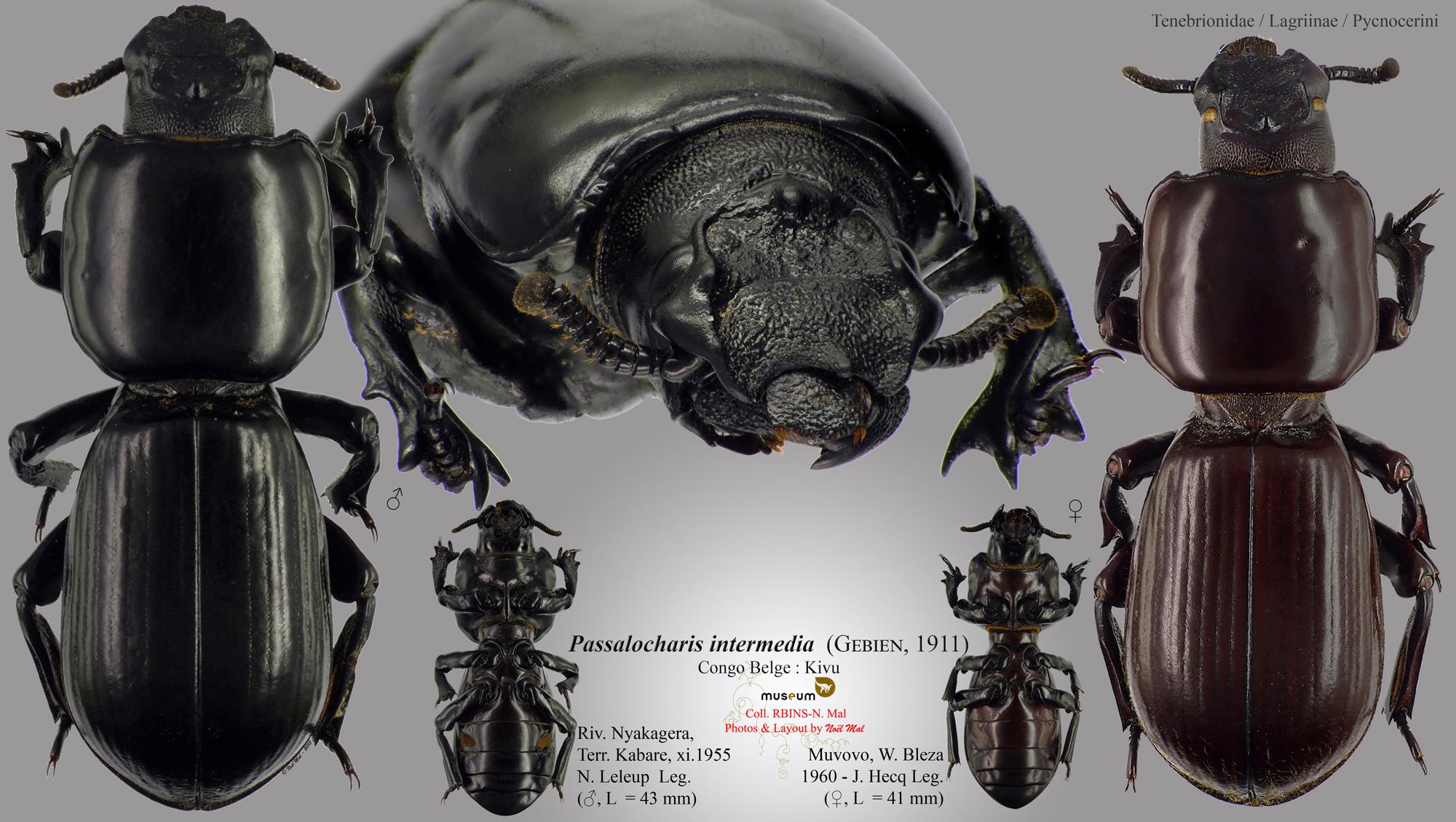 Passalocharis intermedia.jpg