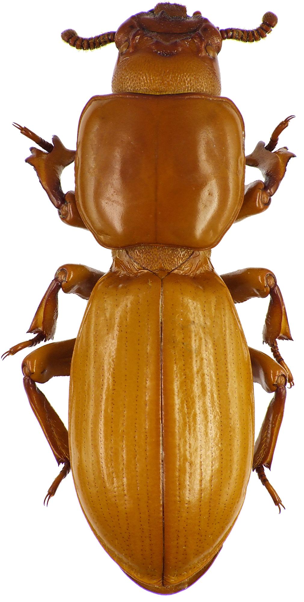 Passalocharis leleupi 71497cz09.jpg